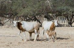 Сернобык scimitar Сахары в заповеднике Стоковое Изображение