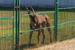 Сернобык taurotragus антилопы Eland Стоковые Фотографии RF