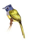 Серое возглавленное flycather Стоковые Фото