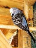 Серое голубое женское взрослое budgie выставки стоковые фотографии rf