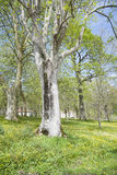 Серое дерево Стоковые Изображения RF