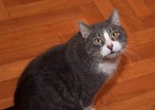 Серое и белое усаживание кота стоковые изображения