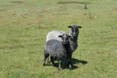 2 серое и паршивые овцы на зеленом поле Стоковые Фотографии RF