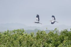 Серое летание цапли стоковая фотография rf