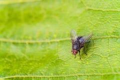 Серое насекомое мухы мяса на больших зеленых лист в природе Муха бутылки Стоковое фото RF