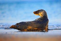 Серое уплотнение, grypus Halichoerus, портрет детали в открытом море, развевает на заднем плане, животное в среду обитания моря п Стоковые Фото