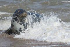 Серое уплотнение & x28; Grypus& x29 Halichoerus; relazing на пляже в Horsey Стоковые Изображения