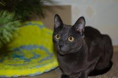 Серое усаживание кота Стоковое фото RF