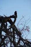 Серое cornix Corvus вороны утра сидя на высушенном-вверх дереве в Ja стоковая фотография