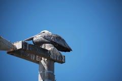 Серое Gelican на пляже Pismo Стоковые Фото