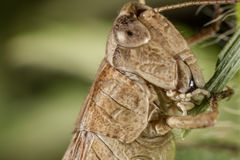 Серое grasshoper есть траву Реальный макрос Стоковые Изображения