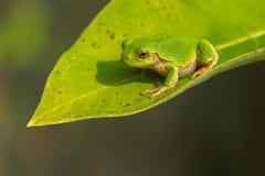 серое treefrog Стоковое Изображение