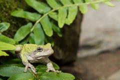 серое treefrog hyla versicolor Стоковая Фотография RF