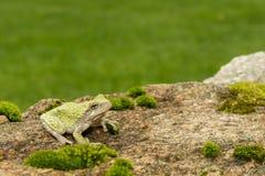 серое treefrog hyla versicolor Стоковые Изображения RF