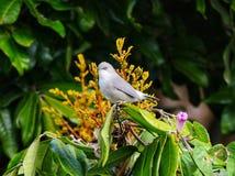 Серое waxbill садясь на насест в естественной среде обитания стоковое фото rf