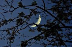 Серповидная луна с ветвями в ноче Стоковые Изображения RF