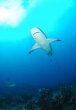 Серые акулы рифа стоковые изображения