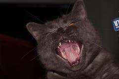 Серые великобританские зевки кота стоковые фото