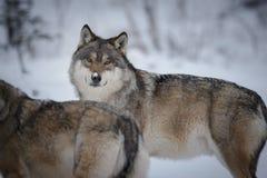 Серые волки в ледовитой зиме Стоковое Изображение