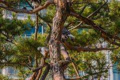 Серые голуби садить на насест на ветви дерева Стоковые Изображения