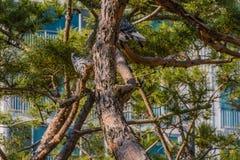 Серые голуби садить на насест на ветви дерева Стоковая Фотография RF