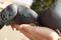 Серые голуби города на руке ` s человека Стоковое фото RF