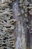 Серые грибки гриба полки растя вверх старый ствол дерева гнить Стоковая Фотография RF