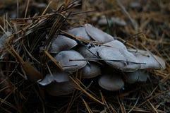 Серые грибы Стоковые Изображения RF