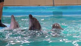 Серые дельфины смотрят из воды около края бассейна, который будет petted инструктор видеоматериал