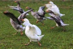 Серые и белые отечественные gooses на зеленой траве Стоковое Фото