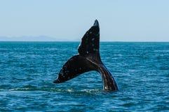 Серые киты (robustus) Eschrichtius, Мексика Стоковое Изображение