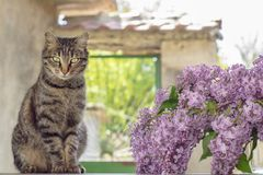 Серые кот и ваза с сиренями Стоковая Фотография RF