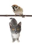 Серые кот и воробей Стоковое Изображение RF