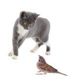 Серые кот и воробей Стоковое Изображение