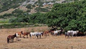 Серые пони Skyros, Греция Стоковые Фото
