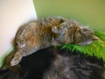 Серые сны кота Стоковое фото RF