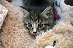 Серые тайники котенка Стоковые Изображения