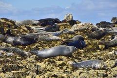 Серые уплотнения на островах Farne, Нортумберленде Стоковая Фотография RF