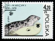 Серые уплотнения (grypus) Halichoerus, животные серии, около 1978 Стоковое Фото