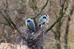 Серые цапли в их гнезде Стоковое Фото