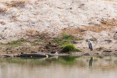 Серые цапля и крокодил стоковые изображения rf
