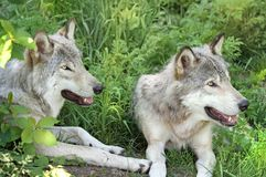серые цвета 2 wolfs Стоковое Изображение RF