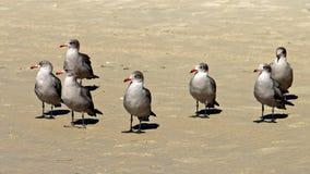 Серые чайки на песке пляжа смотря налево Стоковая Фотография RF