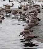 Серые чайки Стоковые Фотографии RF