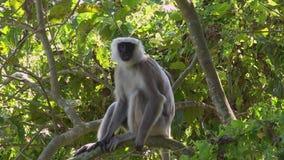 Серые Langur или schistaceus Semnopithecus Langurs Hanuman сидя на ветви дерева акции видеоматериалы