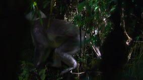 Серые Langur или schistaceus Semnopithecus Langurs Hanuman сидя на ветви дерева видеоматериал