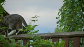 Серые striped прогулки кота вдоль загородки видеоматериал