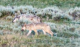 Серые wolfes на траве Стоковое Фото