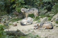серые wolfs Стоковое Фото