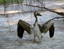 Серый далматинский пеликан Стоковые Фотографии RF